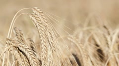 Wheat growing in filed, rack focus Stock Footage