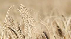 Wheat growing in filed, rack focus - stock footage