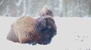 Stock Video Footage of Bison