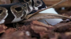Ball Python Strangling White Mouse HD Stock Footage