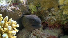 Murena in coral reef Stock Footage
