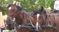 Beautiful pair of horses Footage