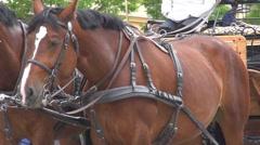 Beautiful pair of horses Stock Footage