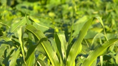 Agriculture, organic garden in early morning, zoom Stock Footage