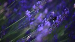 Lavender shot Stock Footage