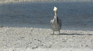 Stock Video Footage of pelican on the beach