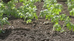 Neat bed of tomato seedlings Stock Footage