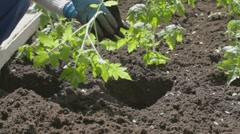Young woman landing the tomato seedlings in fertile soil Stock Footage