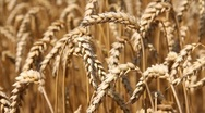 Stock Video Footage of Golden wheat fields