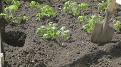 Sprinkling carefully small tomato seedling and making holes Stock Footage