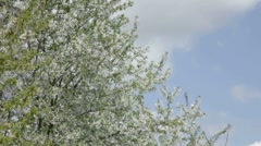 Covered with white flowers cherry tree on wind against sky Stock Footage