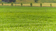 agriculture, corn field zoom - stock footage