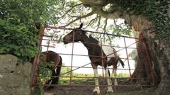 Irish Horses at Gate GFHD Stock Footage