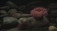 Stock Video Footage of anemonae on the rock 2