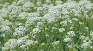 Stock Video Footage of Green medicinal plants with large white inflorescences