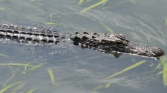 Alligator in the Bayou 3 Stock Footage