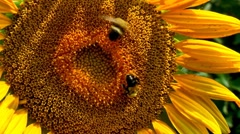 Close up of bumblebees Stock Footage