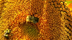 Bumble bees on sunflower Stock Footage