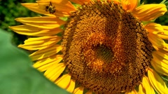 Bumble bee on sunflower Stock Footage