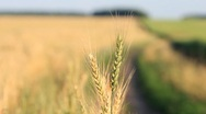 Stock Video Footage of Closeup of wheat ears on wind