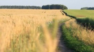 Filed of wheat on wind - follow focus from background to ears Stock Footage