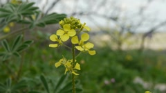 Charlock; Wild- or corn mustard Stock Footage