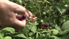 blackberries in the garden. - stock footage