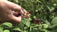 Blackberries in the garden. Stock Footage