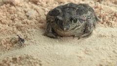 Earthen frog. Stock Footage