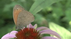 Butterfly nectar sobirat. Stock Footage