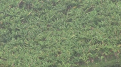 Tropical Rain in Brazil in a banana plantage Stock Footage