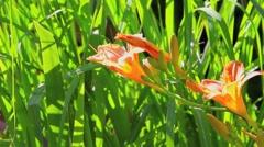 Daylilies - Hemerocallis Stock Footage