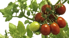 Timelapse of tomatoes close Stock Footage