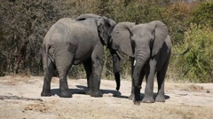 African elephants Stock Footage