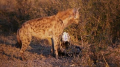 Scavenging spotted hyena Stock Footage
