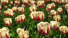 Red and beige tulips in late light Stock Footage