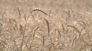 Wheat ears 2 Stock Footage