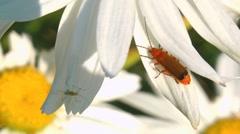 Beetle on margerite Stock Footage