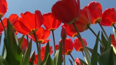 Shadows on red tulips before bright blue sky Stock Footage