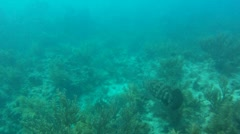 Goliath Grouper Swimming Stock Footage