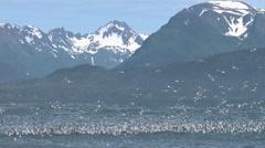 Kittiwakes Bay and Mountains Stock Footage