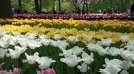 Tourists in the Keukenhof stroll in beautiful tulip garden Stock Footage