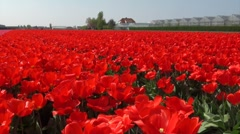 Hot houses behind bright red tulip fields in Holland Stock Footage