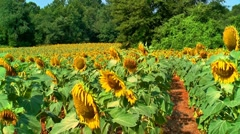 Sunflower field in need of rain 02 Stock Footage