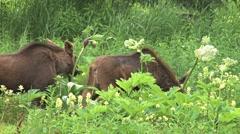 Moose Calves Munching 1 Stock Footage