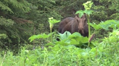 Wary Mother Moose Stock Footage