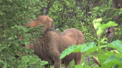 Moose Calf Browsing and Becoming Alert Stock Footage