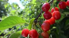 Cherry Stock Footage