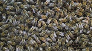Bees on honeycomb Stock Footage