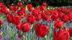 Bright red tulips in a lavender field in the Keukenhof, the Netherlands Stock Footage